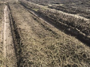 Wet soil conditions make combining peanut difficult.