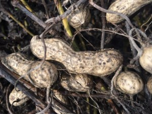 Discolored pods following 3-week exposure to wet and cloudy conditions after digging.