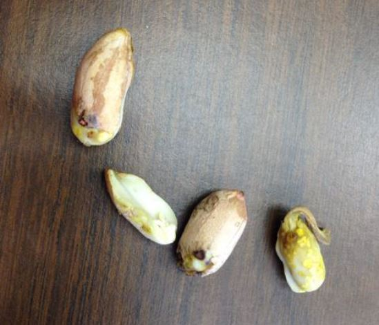 Damaged kernels caused by burrower bug in South Carolina. Photo provided by Billy Barrow, Golden Peanut Company.