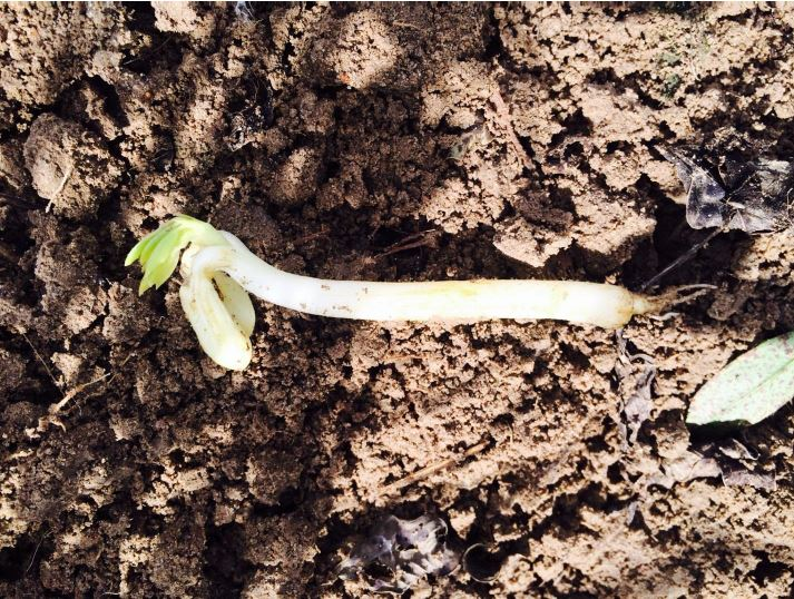 Peanut sprouting in the field due to delayed digging and harvesting.