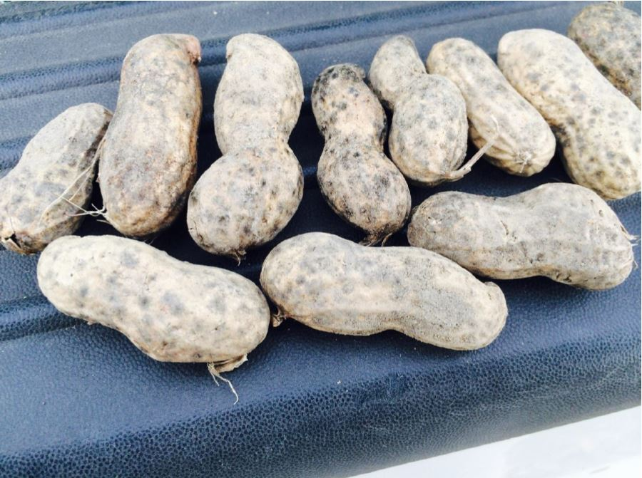 Discolored shells of peanut remaining in the field for 2 to 3 weeks under warm and rainy conditions were common in the V-C region during 2015. Approximately 30% of the crop contained discolored shells at some level.