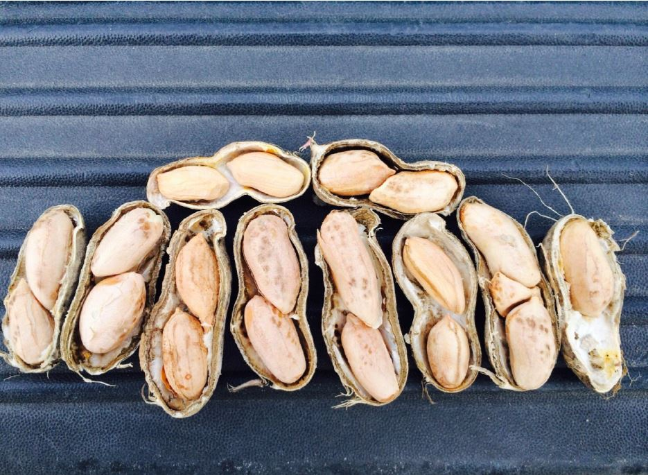 Poor quality was common for some of the shelled peanut crop in the V-C region. Damage was high in some areas depending on digging and harvesting relative to rainfall.