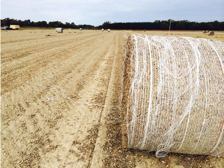 Some growers experienced ideal conditions in October to dig and harvest peanuts and remove peanut hay without adverse weather. These growers experienced high yields and quality because they were able to efficiently harvest peanut.