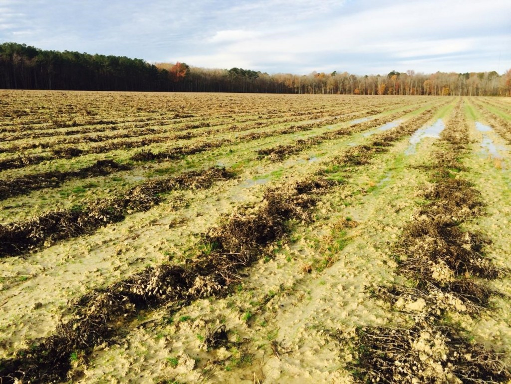 Peanut remaining in the field during 2015 after digging but before harvesting