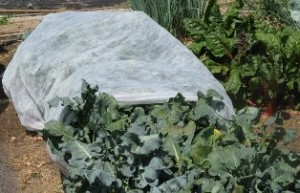 vegetable bed covered with row cover
