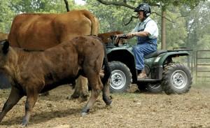 atv_cattle