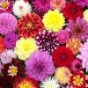 dahlia-wedding-flowers