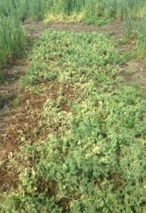 Sclerotinia pressure in winter pea