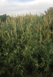 semi-dward pea and wheat