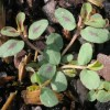 spotted spurge seedling showing oval leaves, with maroon spots at center. Plant is branched at the base with horizontal growth.