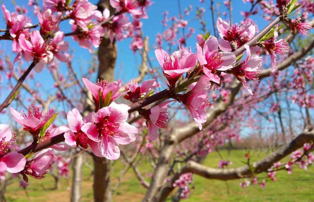 Peak peach bloom. Photo by Debbie Roos.