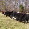 AMAZING GRAZING-cow pic