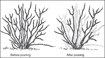 Diagram of blueberry pruning