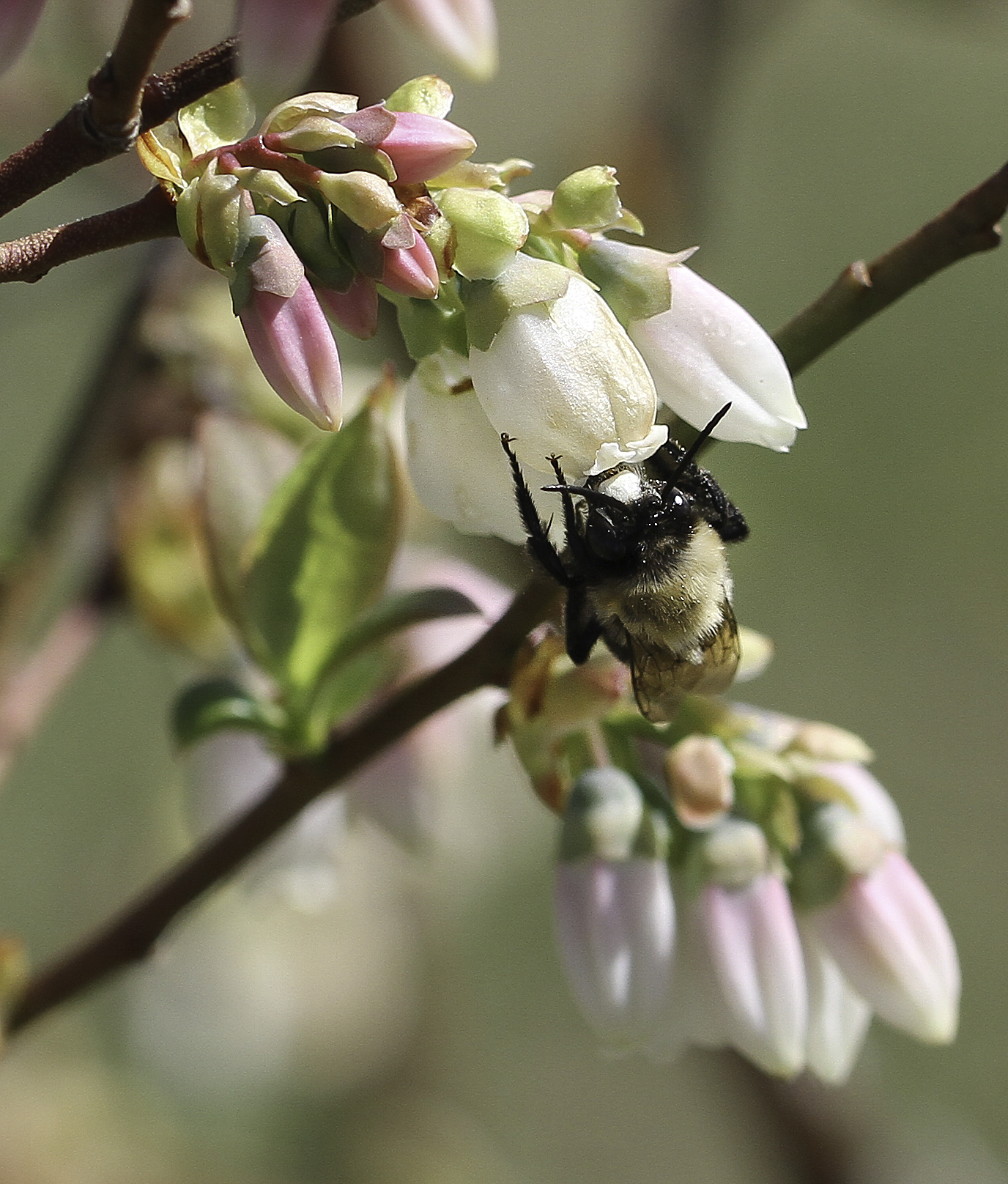 Southeastern blueberry bee foraging on blueberry bloom. Photo by Debbie Roos.