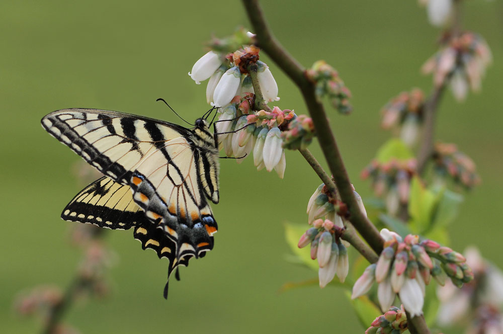 Eastern tiger swallowtail butterfly on blueberry. Photo by Debbie Roos.