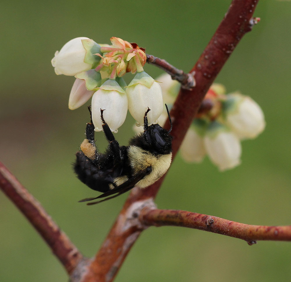 Bumble bee on blueberry. Photo by Debbie Roos.