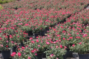 red knockout rose in full bloom, in a container nursery
