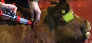 calf vaccination 2