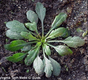 17 Horseweed