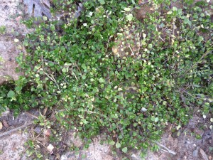 5. Common chickweed