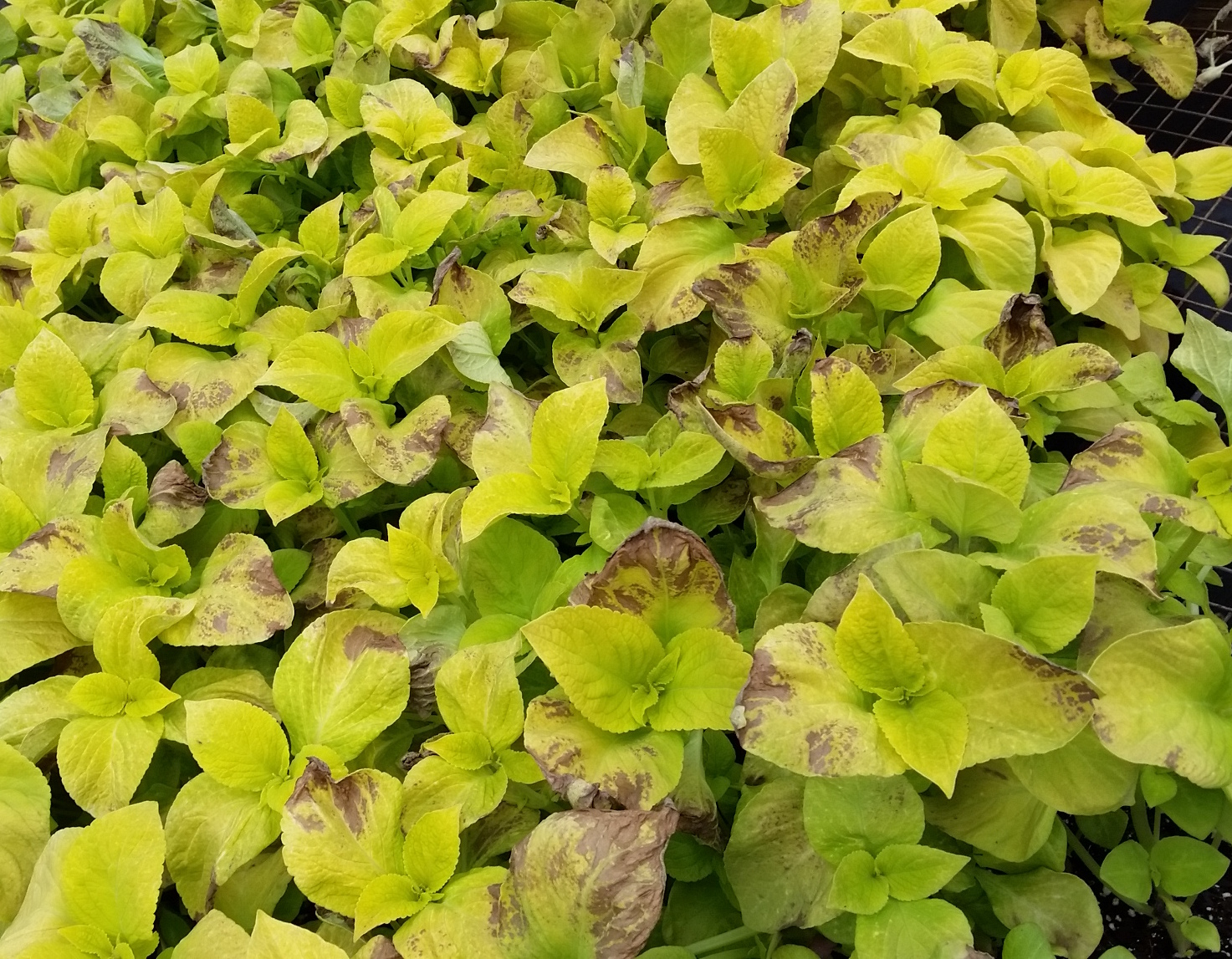 Symptoms of coleus downy mildew on leaves, NCSU Plant Disease and Insect Clinic