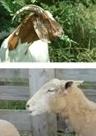 Goat Sheep Training