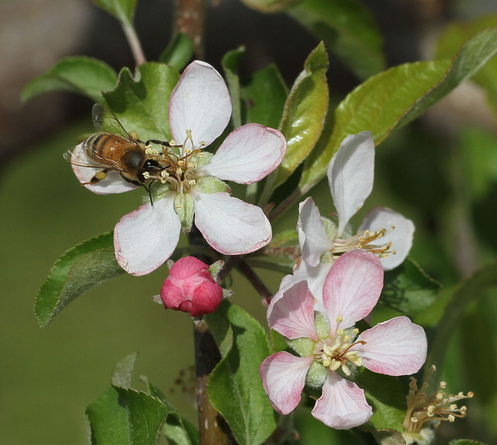 A honey bee visits an apple bloom on the day after a hard freeze. These apple trees are planted at the top of a hill where it did not get as cold and did not appear to be damaged but they still have one more freeze to survive before they are out of the woods! Photo by Debbie Roos.