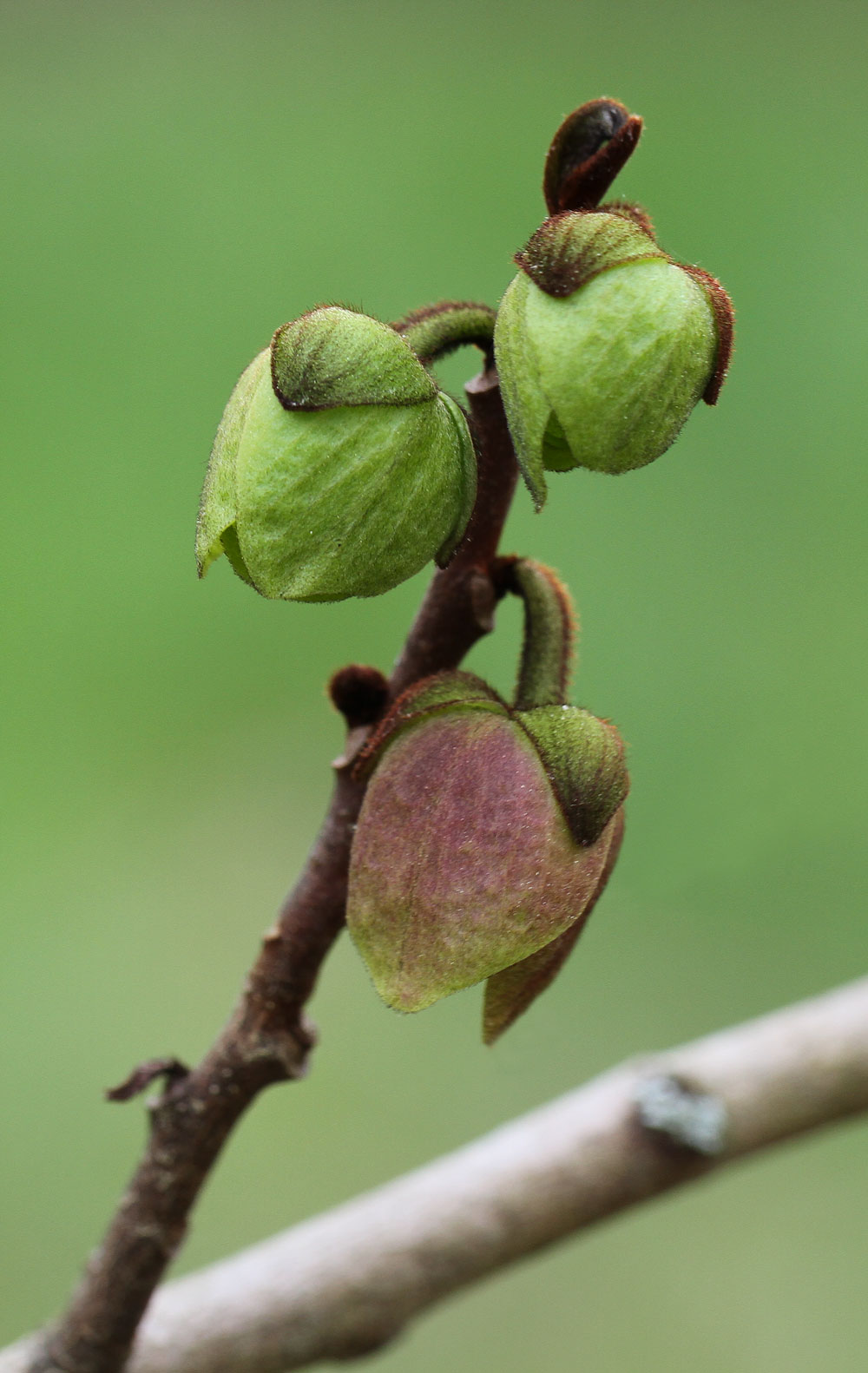 Paw paw blooms not fully open. Photo by Debbie Roos.