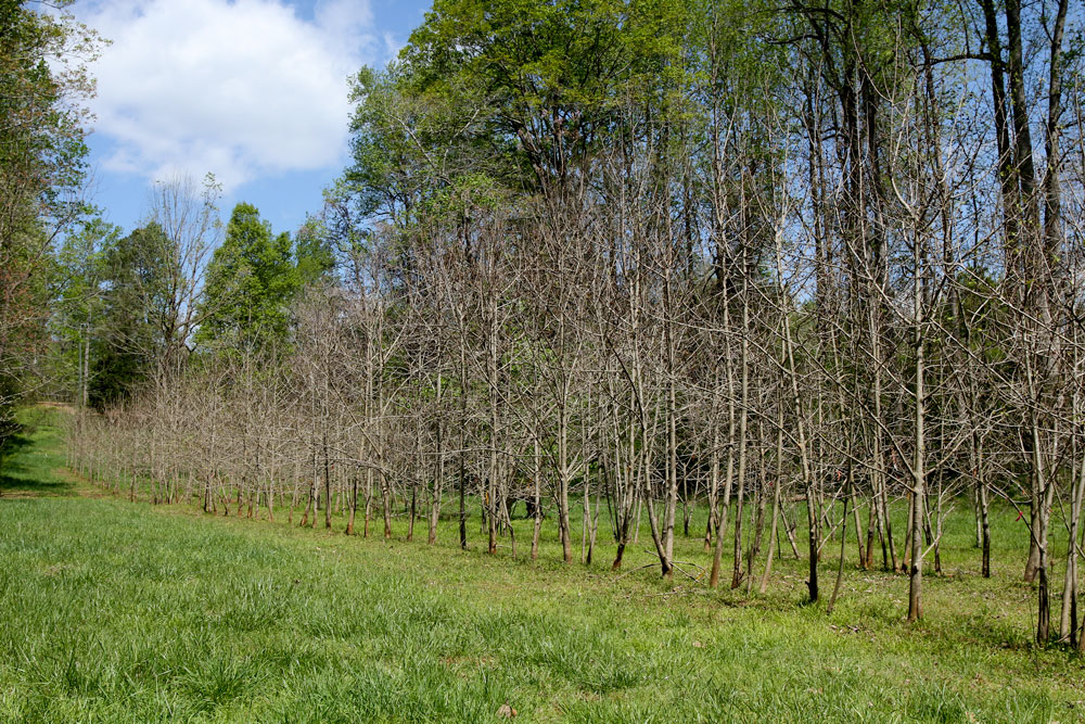 Paw paw orchard in bloom in early April. Photo by Debbie Roos.