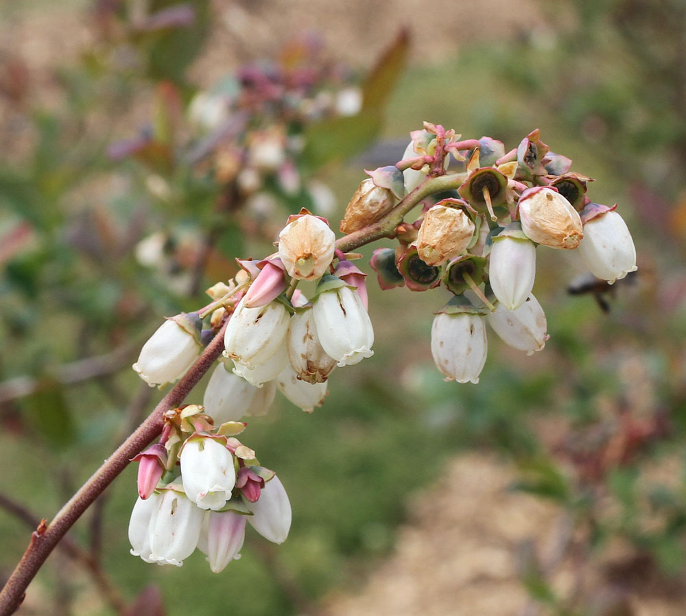Blueberry blooms on April 11, after two nights of temperatures around 25° F. Photo by Debbie Roos.