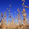 Soybeans ready for harvest. Photo by Scott Bauer.
