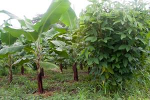 Bananas and Legumes at Earth University Image by A. Robertson