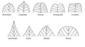 botany-leaf_bases_apex