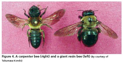 Not Only Do The Bees Dart At Anything That Walks By They Also Burrow Into Almost Any Wooden Structure Can Find Carpenter Bee