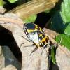 Yellow and black bug.