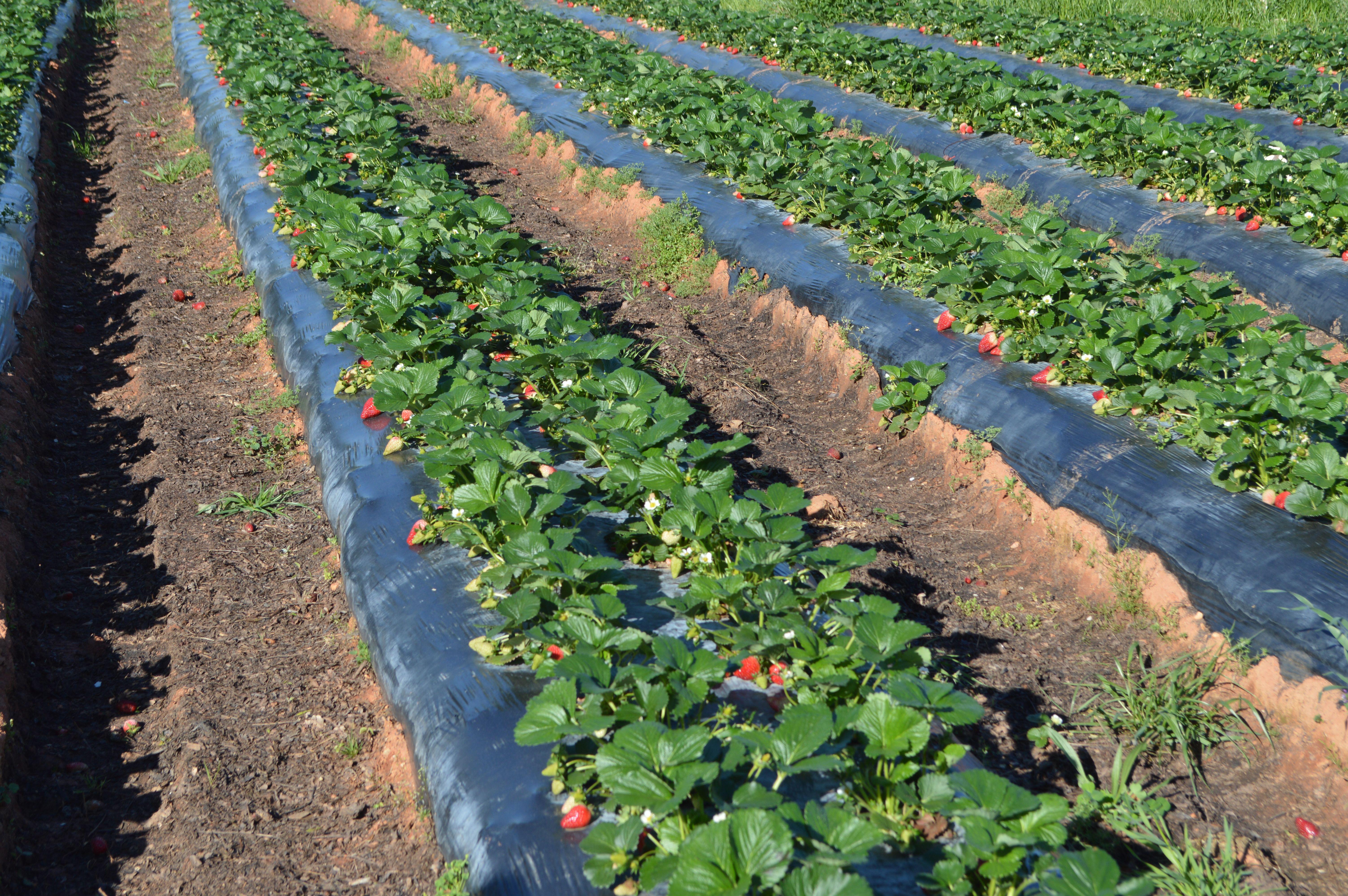 outstanding crop Albion