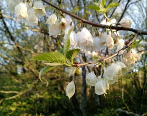What is the white flowering tree on the lenoir greenway north silverbells this is a native flowering tree its home range is the southern appalachian maintains and piedmont the common name carolina silverbell mightylinksfo