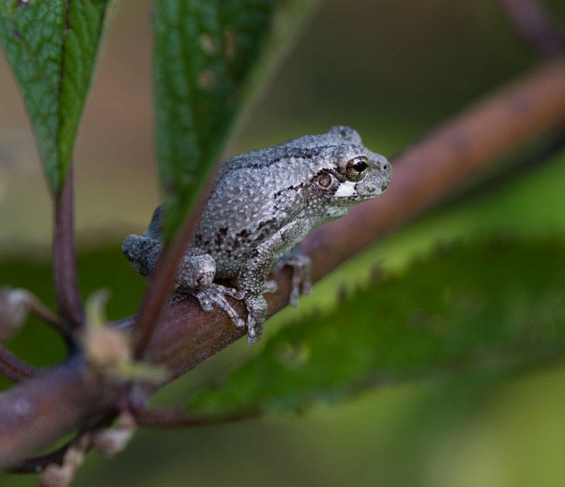 Gray treefrog. Photo by Debbie Roos.