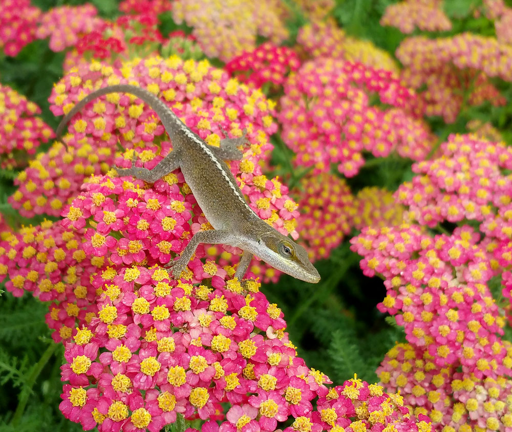 I enjoy hanging out with the anoles in the pollinator garden! Photo by Debbie Roos.
