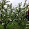 Woman applying fruit bags to peach trees.