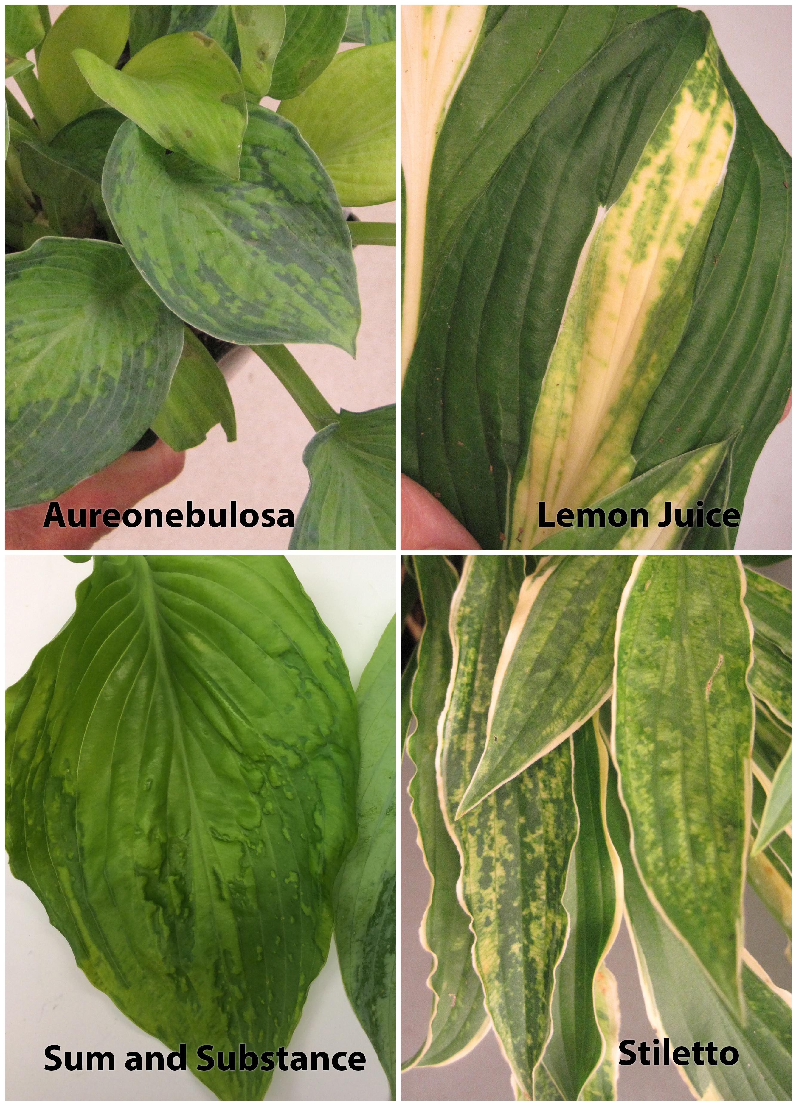 Symptoms of Hosta Virus X on four varieties of Hosta