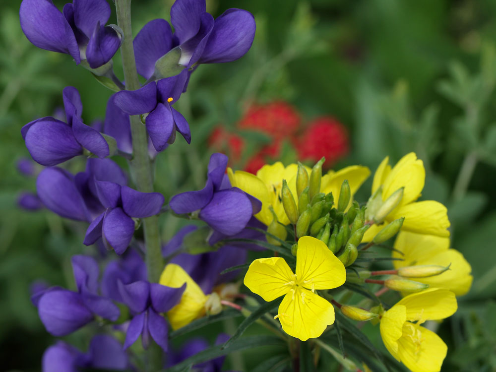 Native dwarf wild indigo and sundrops in the pollinator garden. Photo by Debbie Roos.