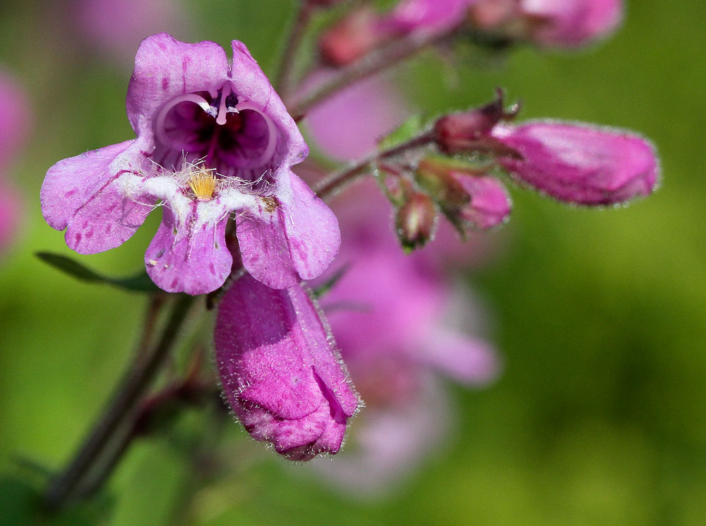 The inner workings of the beardtongue flower are a wondrous thing! Photo by Debbie Roos.