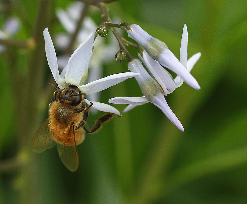 A honey bee seeks nectar from eastern bluestar. Photo by Debbie Roos.