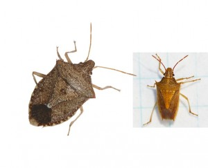 Brown stink bug (left) and rice stink bug (right) adults.