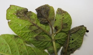 Cover photo for Scout Potatoes for Late Blight Due to Recent Reports