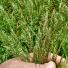 Picture of sweet vernal grass.