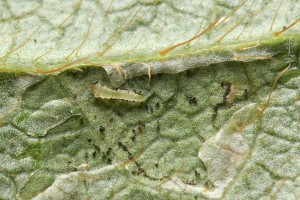 Early young leaf miner with lower leaf epidermis removed. Photo by Matt Bertone