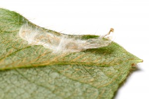 Cocoon at leaf edge with pupal skin. Photo by Matt Bertone