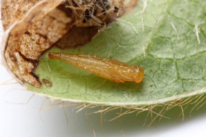 Parasitoid pupa. Photo by Matt Bertone
